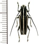カミキリムシの一種 Glenea albovittata ♀ フィリピン(ルソン島)