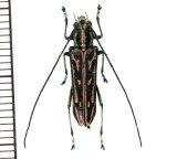 カミキリムシの一種 Glenea sp.  ♀ ラオス