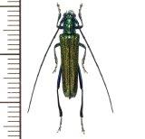 カミキリムシの一種 Glenea subviridescens  ♂ ラオス