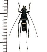 カミキリムシの一種 Acrocyrtidus sp. ♂  ベトナム(ベトナム中部)