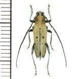 カミキリムシの一種 Glenea vsexpunctata  ♂ フィリピン(ミンダナオ島)