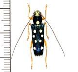 カミキリムシの一種 Glenea lepida ♀ フィリピン(ミンダナオ島)