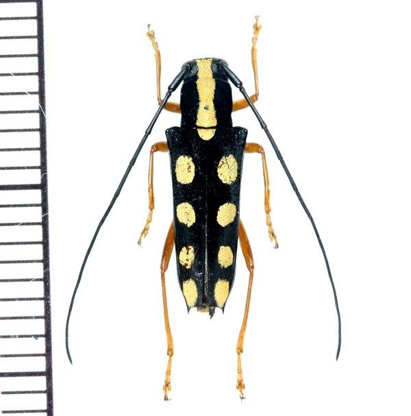 画像1: カミキリムシの一種 Glenea quadriochreomaculata  ♀  フィリピン(ネグロス島)