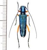 カミキリムシの一種 Glenea aphrodite ♀ フィリピン(ルソン島)