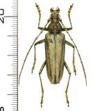 カミキリムシの一種 Trachylophus acutulus ♀  ベトナム(ベトナム中部)