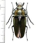 クワガタモドキの一種  Trictenotomidid species ♀  ベトナム(ベトナム中部)