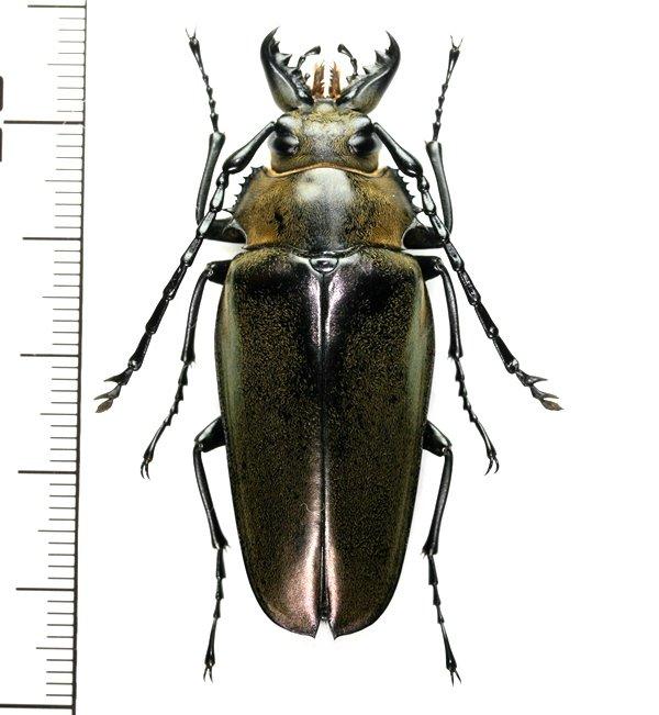 画像1: クワガタモドキの一種  Trictenotomidid species ♀  ベトナム(ベトナム中部)