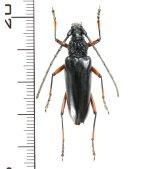 カミキリムシの一種 Pseudopachydissus tamdaoensis   ♀  ベトナム(ベトナム北東部)