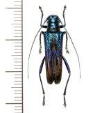 カミキリムシの一種 Glenea apicepurpurata  ♀  フィリピン(ルソン島)