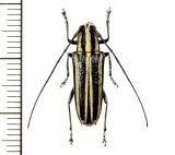 カミキリムシの一種 Glenea kraatzi ♀ フィリピン(ミンドロ島)