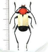 カミキリムシの一種 Euryclelia cardinalis  ♀  フィリピン(パラワン島)