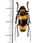 カミキリムシの一種 Cereopsius praetorius transitivus  ♀  フィリピン(ルソン島)