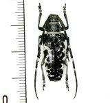 カミキリムシの一種 Blepephaeus agenor  ♀  フィリピン(ルソン島)
