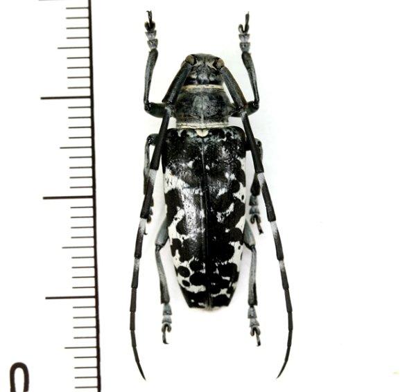 画像1: カミキリムシの一種 Blepephaeus agenor  ♀  フィリピン(ルソン島)