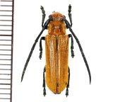 カミキリムシの一種 Cerambycid species  ♂  フィリピン(ルソン島)