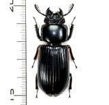 クロツヤムシの一種 Passalidae species 49mm  フィリピン(パナイ島)