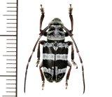 カミキリムシの一種 Chloeromorpha sp.   ♀ フィリピン(パナイ島)
