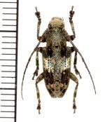 カミキリムシの一種 Cerambycid species  ♀  フィリピン(ルソン島)