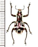 カタゾウムシの一種 Pachyrhynchus corpulentus  ♂ フィリピン(ミンダナオ島)