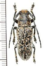 カミキリムシの一種 Callimetopus variolosus ♂  フィリピン(ネグロス島)