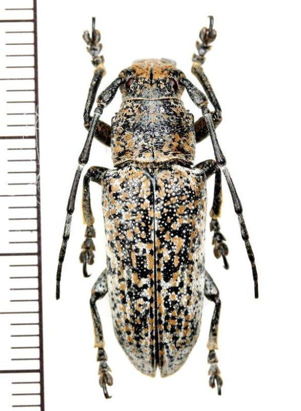 画像1: カミキリムシの一種 Callimetopus variolosus ♂  フィリピン(ネグロス島)