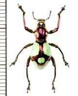 カタゾウムシの一種  Pachyrhynchus apoensis  ♀  フィリピン(ミンダナオ島)