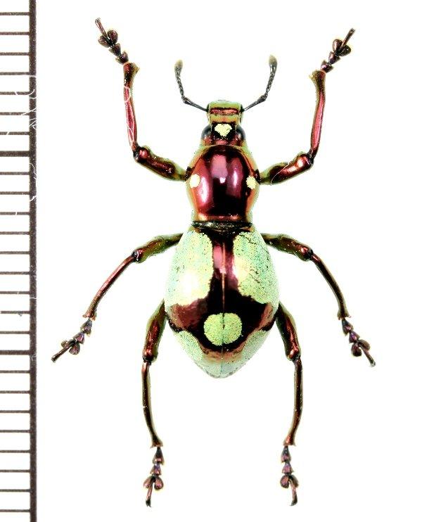 画像1: カタゾウムシの一種  Pachyrhynchus apoensis  ♀  フィリピン(ミンダナオ島)