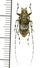 カミキリムシの一種 Anancylus sp.  ♂  フィリピン(ルソン島)