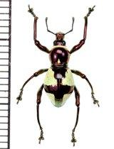 カタゾウムシの一種 Pachyrhynchus hirokii  ♂ フィリピン(ミンダナオ島)