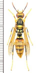 キアシナガバチ ♀(ワーカー) 奄美大島