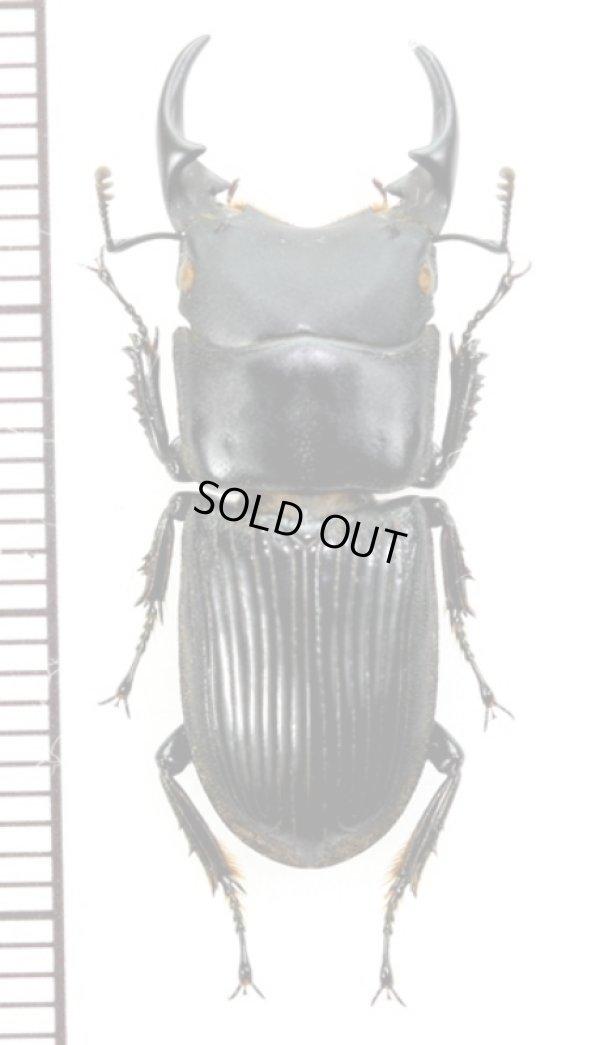 画像1: ラエビコリスネブトクワガタ Aegus laevicollis ssp. ♂27.3mm ベトナム(ベトナム北東部)