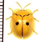 ハムシの一種 Chrysomelid species  フィリピン(パナイ島)
