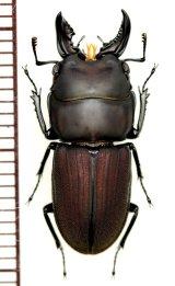 クワガタムシの一種 Incadorcus zugeri 大型♂ ペルー