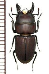 クワガタムシの一種 Incadorcus zugeri ♂ ペルー