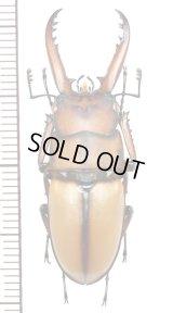 アスタコイデスノコギリクワガタ  Prosopocoilus astacoides blanchardi  ♂ 中国四川省