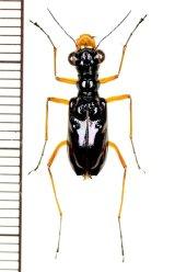 メダカハンミョウの一種 Therates coracinus  ♀   フィリピン(ミンダナオ島)