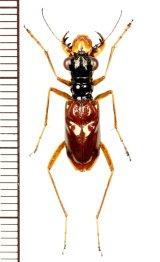 メダカハンミョウの一種 Therates sp.  ♂   フィリピン(サーマル島)