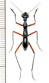 ハネナシハンミョウ(キノボリハンミョウ)の一種 Tricondyla sp.   フィリピン(ミンダナオ島)