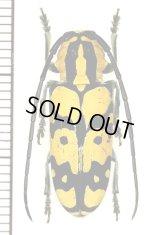カミキリムシの一種 Tragocephala variegata ♀  ザンビア