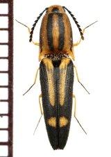 コメツキムシの一種 Elateridae species フィリピン(ルソン島)