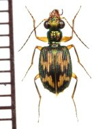 ゴミムシの一種 ♂ Carabid species フィリピン(ルソン島)