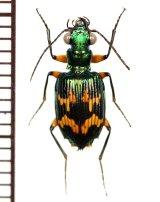 ゴミムシの一種 ♂ Carabidae species フィリピン(ルソン島)