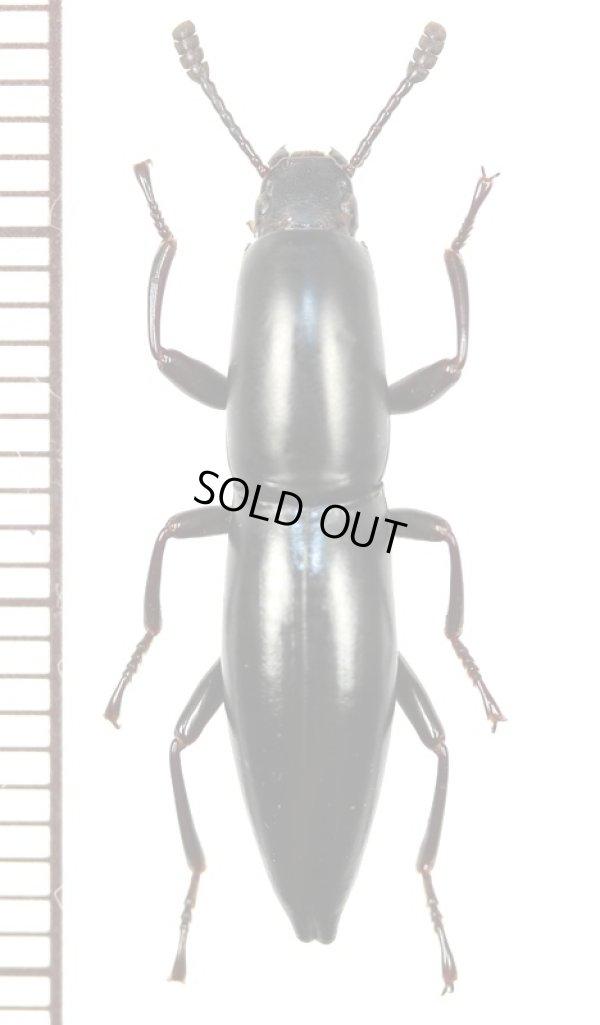 画像1: ゴミムシダマシの一種 Macellocerus acuminatus マダガスカル