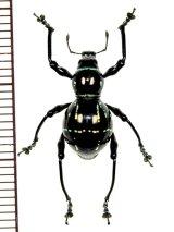 カタゾウムシの一種 Pachyrhynchus nobilis  フィリピン(ルソン島)