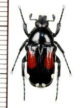 ハナムグリの一種 Pygora ornata  ♀  マダガスカル