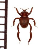 好蟻性エンマムシの一種 Pulvinister  sp.  ペルー