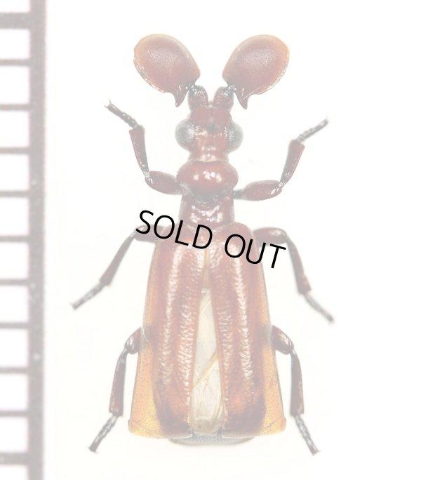 画像1: ヒゲブトオサムシ族の一種 Paussus spinicola タンザニア