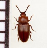 好蟻性キスイムシの一種 Spavius glaber ロシア