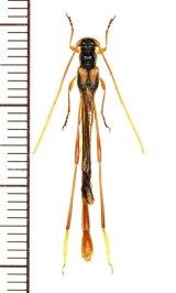 カミキリムシの一種 Necydalis choui 大型♂ ベトナム(ベトナム北東部)