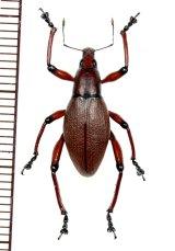 ゾウムシの一種 Macrocyrtus contractus ♂  フィリピン(ルソン島)